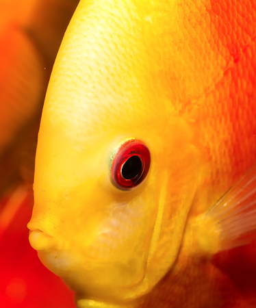 discus fish: Portrait of red orange discus fish. Stock Photo