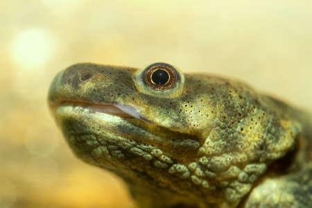 salamandra: Vista en detalle de la cabeza de la salamandra. Foto de archivo