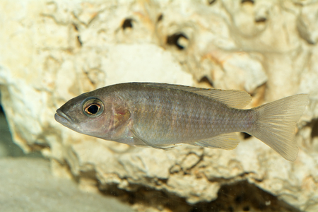 aulonocara: Aquarium cichlid fish from genus Aulonocara. Stock Photo