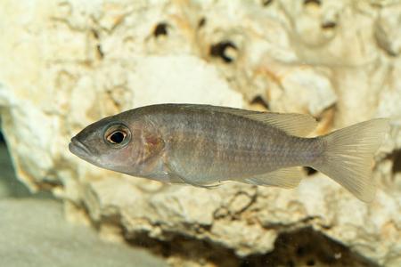 peacock cichlid: Aquarium cichlid fish from genus Aulonocara. Stock Photo