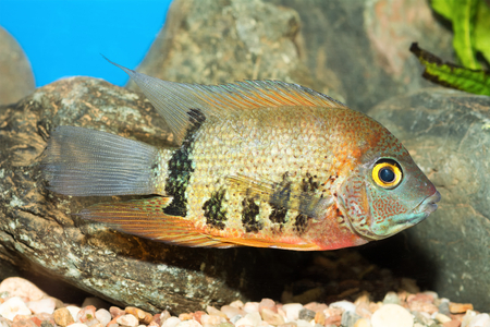 large cichlid: Aquarium cichlid fish from genus Heros.
