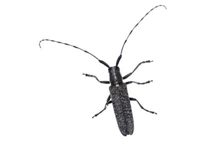 long horn beetle: Black beetle from family Cerambycidae. Stock Photo