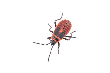 firebug: Nice firebug on white background Stock Photo
