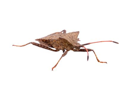 squash bug: Brown Dock Bug on a white background