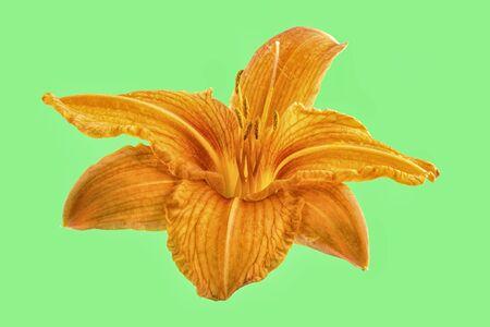 orange lily: Orange lily flower isolated on green background