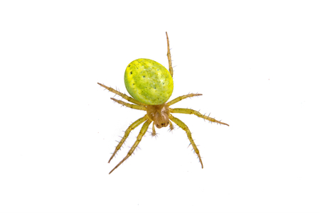 dorsata: Green spider isolated on a white background