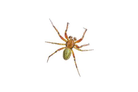 arachnida: Rusty green spider isolated on a white background Stock Photo