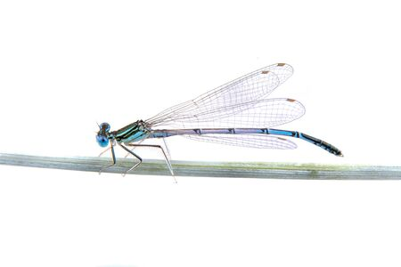 detai: Blue dragonfly sitting on a straw isolated on a white background
