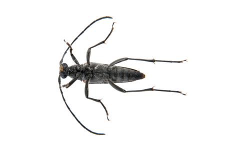 cerambycidae: Black beetle from family Cerambycidae isolated on white background