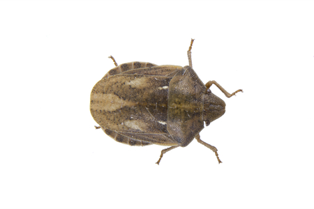 shield bug: Shield bug isolated on a white background