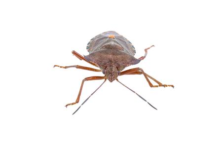 pentatomidae: Shield bug isolated on a white background