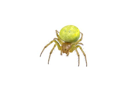 arachnida: Green spider isolated on a white background