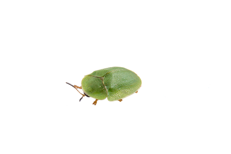 prasina: Green shield bug isolated on a white background Stock Photo