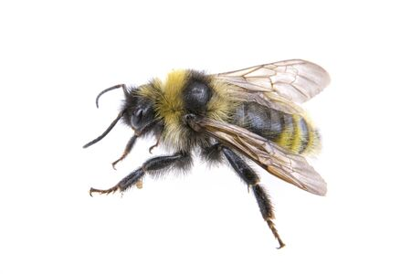 bee: Bumble-bee isolated on a white background