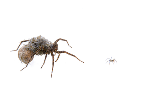 pisaura mirabillis: Spider with young isolated on a white background