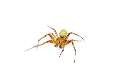 dorsata: Orange green spider isolated on a white background Stock Photo