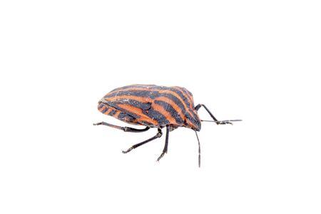 rouge et noir: Red black bug bande sloe isol� sur un fond blanc Banque d'images