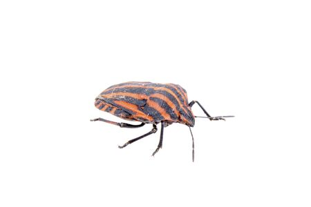 lineatum: Red black stripe sloe bug isolated on a white background