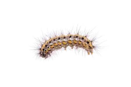 lepidopteran: Colored caterpillar isolated on a white background