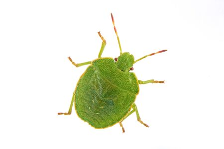 green shield bug: Green shield bug isolated on a white background Stock Photo