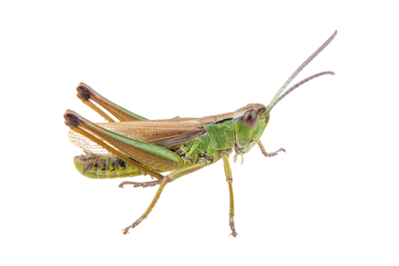 Green brown grasshopper isolated on a white background Imagens