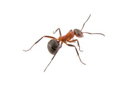 Bruine mier geïsoleerd op een witte achtergrond Stockfoto - 44299232