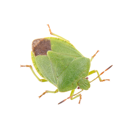 shield bug: Green shield bug isolated on a white background Stock Photo