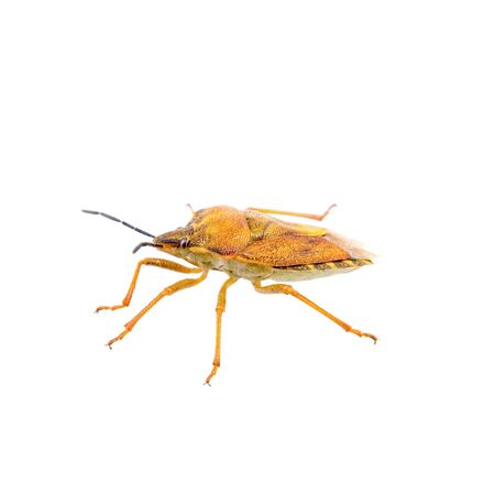 prasina: Orange shield bug isolated on a white background
