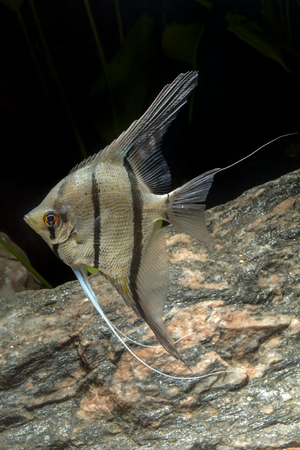 scalare: Cichlid fish from genus Pterophyllum in the aquarium