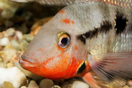thorichthys: Detail of head of cichlid fish from genus Thorichthys