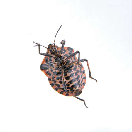 rouge et noir: Red black striped shield bug isolated on a white background
