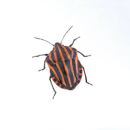 cutouts: Red black striped shield bug isolated on a white background