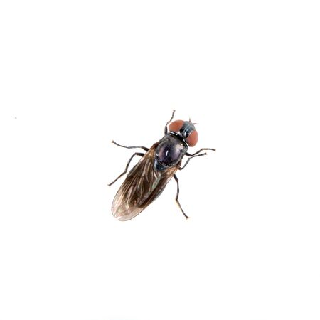 white fly: Black fly isolated on a white background
