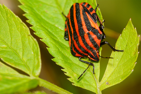 lineatum: Red black striped shield bug sitting on a green flower