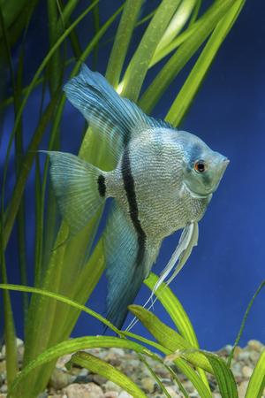 pterophyllum: Cichlid fish from genus Pterophyllum in the aquarium