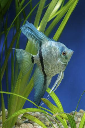 pterophyllum scalare: Cichlid fish from genus Pterophyllum in the aquarium