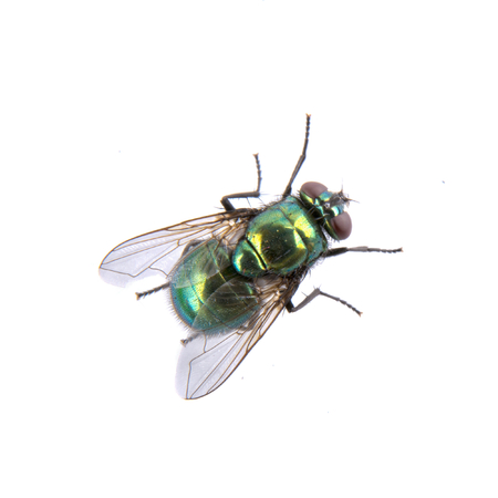 fly: Green fly isolated on a black background Stock Photo