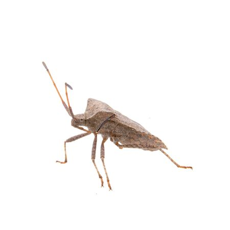 squash bug: Brown Dock Bug isolated on a white background