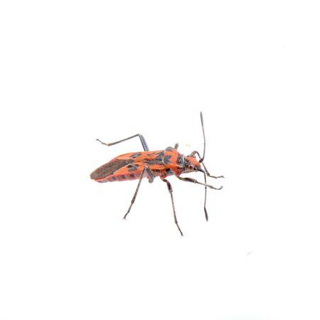 firebug: Nice firebug isolated on white background