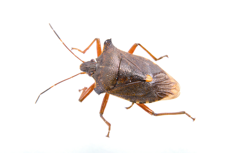 prasina: Brown shield bug isolated on a white background