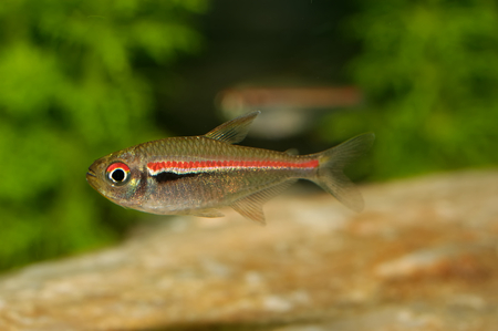 neon tetra: Tetra fish from the genus Hemigrammus in the aquarium Stock Photo