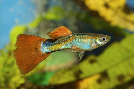 guppies: Guppy fish in a aquarium with blurred background Stock Photo