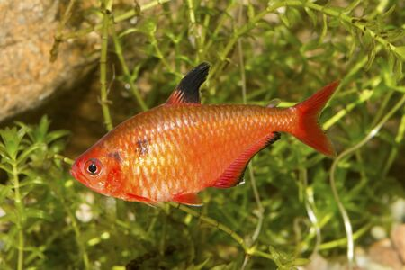 hyphessobrycon: Red tetra fish in a aquarium with blurred background