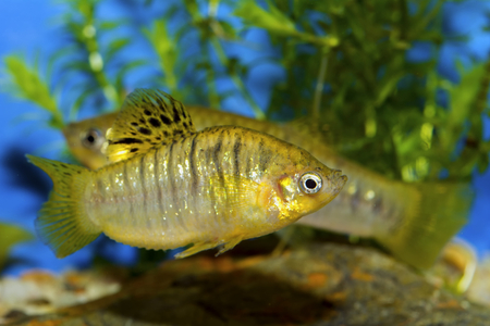 molly fish: Fish from genus Poecilia in a aquatrium