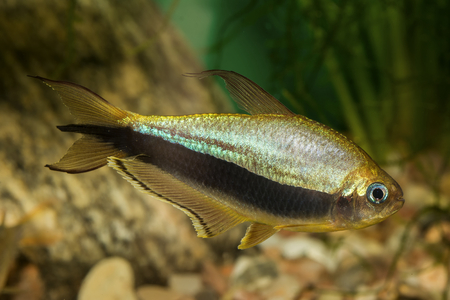 neon tetra: Tetra fish with black stripe in the aquarium