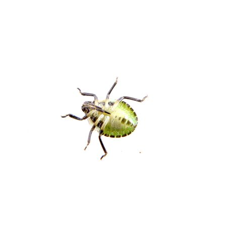 prasina: Green black shield bug isolated on a white background