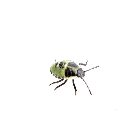 shield bug: Green black shield bug isolated on a white background