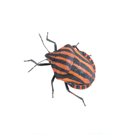 lineatum: Red black striped shield bug isolated on a white background