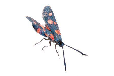 zygaena: Six-spot burnet isolated on the white background