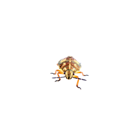 shield bug: Brown shield bug isolated on a white background